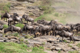 Wildebeests At The River