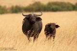 African Buffalos