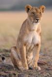 Elegant Lioness