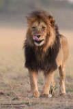Lipstick, A Strong Male Lion