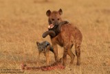 Spotted Hyena And Jackal