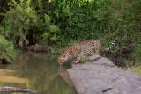 Cheetah Drinking