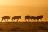 Wildebeests In The Morning Sun