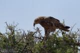 Tawn Eagle