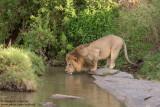 Male Lion Drinking