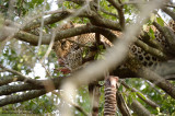 Leopard In The Tree With Prey