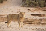 The Desert Lion Called Polla