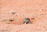 Ground Sqirrel (Xerus inauris)