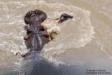 Newborn Wildebeest Attacked By Hippos