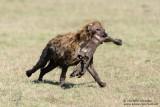 Hyaena With Leg From Zebra