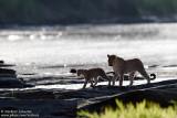 Leopards Crossing The Olare Orok River