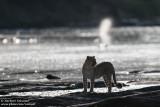 Leopard Crossing The Olare Orok River