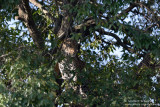 Leopard Hidden In The Tree