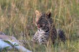 Youg Leopard