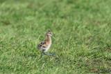 Black-tailed Godwit Chick