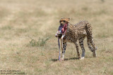 Cheetah With Its Prey
