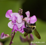 A Bumble Bee on Hyacinth Bean.