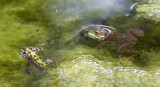 Southern Leopard Frog and Bullfrog