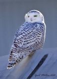Snowy Owl in Little Rock (Pulaski Co.) AR