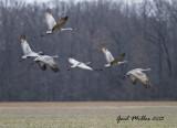Sandhill Cranes at Higginson (White Co.) Arkansas