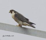 Peregrine Falcon  Slackwater Harbor Drive  Little Rock (Pulaski County) Arkansas