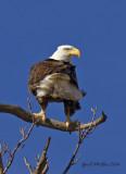 Bald Eagles    Exeter, Missouri