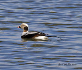 Long-tailed Duck at Two Rivers Park in Little Rock, AR