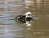 Long-tailed Duck Lake Conway