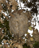 Hornet's nest, a little big larger than a basketball.