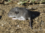 I think this is a baby vole .. photo taken at the Buffalo River, Boxley Valley (Arkansas)