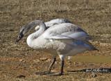 Trumpeter Swans 2015 Heber Springs, Arkansas