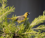 Orchard Oriole, first year male. Schlumberger; Mayor Lane and Whitten Road, Conway, AR