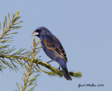 Blue Grosbeak, male Schlumberger; Mayor Lane and Whitten Road, Conway, AR