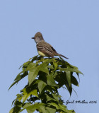 Great-creasted Flycatcher Schlumberger; Mayor Lane and Whitten Road, Conway, AR
