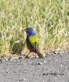 Painted Bunting, male Schlumberger; Mayor Lane and Whitten Road, Conway, AR