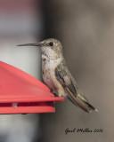 Hummingbird at Terry Butler's in Pangburn, AR