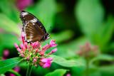 Jacintha eggfly butterfly