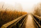 Misty reeds and boardwalk, Dorchester