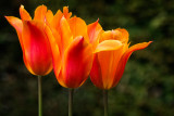 'Triple crown' ~ tulips, Knightshayes (3004)