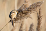 Female bearded reedling, Radipole