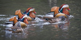 Five mandarin ducks, Ninesprings