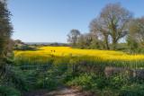 Oil seed field, near Odcombe