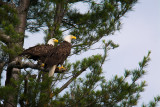 Bald eagle pair in pine tree