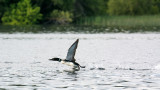 Common loon walking on water!