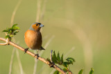 Male chaffinch, Greylake