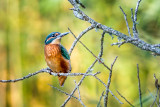 Kingfisher, Ham Wall
