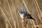 Male bearded reedling (tit), Radipole