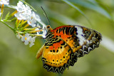 Butterfly 05 ~ Buckfastleigh (3699)