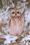 _JFF0883 Short Eared Owl.jpg