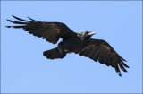 Common Raven, prebasic molt (2 of 2)